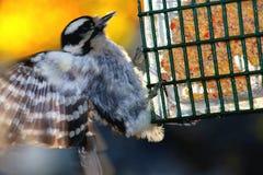 Att flyga behandla som ett barn hackspettfågeln Royaltyfri Bild