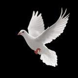 att flyga pigoen Royaltyfri Bild
