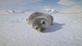 Att gäspa för närbild behandla som ett barn skyddsremsan på Antarktis snöland lager videofilmer