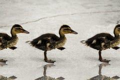 Att gå behandla som ett barn Ducklings arkivbild