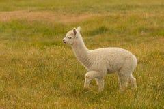 Att gå behandla som ett barn gullig alpaca över grönt exponeringsglas arkivbild