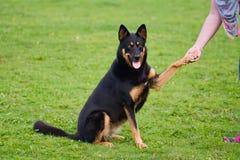 Att ge sig för hund tafsar till ägaren fotografering för bildbyråer