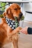 Att ge sig för modehund tafsar hemma royaltyfria bilder
