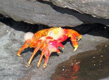 Att gjuta som är rött, vaggar krabban (Galapagos, Ecuador) Arkivbilder
