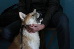 Att gråta den akita valpen önskar att gå för en gå Fotografering för Bildbyråer