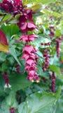 Att hänga blommar med purpurfärgade sidor Royaltyfri Fotografi