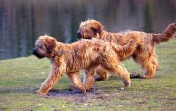 att jaga dogs varje annat Arkivbilder