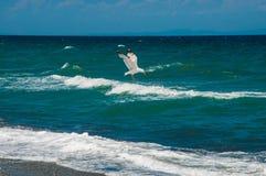 Att jaga för Seagull som är hans, ber Royaltyfri Bild
