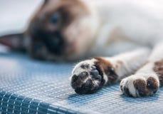 Att lägga katten tafsar tätt upp Royaltyfri Fotografi