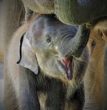 Att le behandla som ett barn elefanten Royaltyfria Bilder