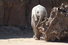 Att le behandla som ett barn elefanten Royaltyfria Foton