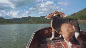 Att lugna beaglet på fartyget med hans flyg gå i ax lager videofilmer