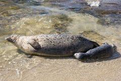 Att mjölka för sjölejon behandla som ett barn skyddsremsan på stranden, La Jolla, Kalifornien Arkivfoton