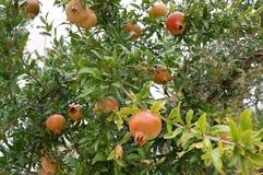 Att mogna av granatäpplet bär frukt i en trädgård i en grekisk by royaltyfria foton