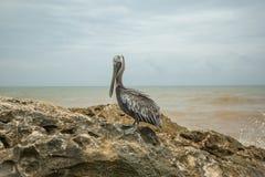 Att närma sig en pelikan Royaltyfri Bild
