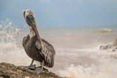 Att närma sig en pelikan Royaltyfri Foto
