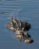 Att närma sig för alligator royaltyfri fotografi