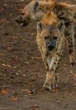 Att närma sig för prickig hyena Arkivbilder