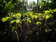 Att att odla Papayaträdet royaltyfria foton