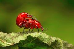 Att para ihop för skalbaggar som är oidentifierat, Aarey mjölkar kolonin, INDIEN Fotografering för Bildbyråer