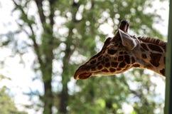 Att peta för giraff som är dess, head ut Royaltyfri Foto