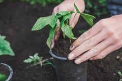 Att att plantera ett träd Personen planterar ett träd Arkivbild