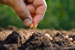 att plantera kärnar ur Royaltyfri Bild