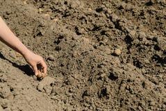 Att plantera kärnar ur potatisar Fotografering för Bildbyråer