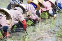 Att plantera rice i ricen sätter in. Arkivbild