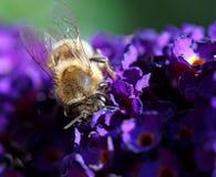 Att pollinera biet på lila blommar och den kastanjebruna blomman Arkivbilder