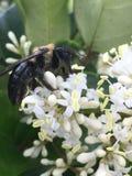 Att pollinera stapplar biet Royaltyfri Bild