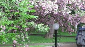 Att regna i staden parkerar Träd med fallande rosa kronblad stock video