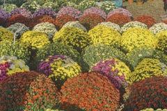Att sälja blommar i krukor, stora buketter av krysantemum royaltyfri bild