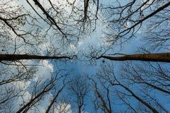 Att se upp på det torra trädet för himmel naturen vaknar upp efter vinterbakgrund av en ljus blå himmel, träd mot himlen Royaltyfri Foto