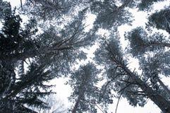Att se upp till och med en avlövad snö täckte tova av filialer på en vinterdag Royaltyfri Bild