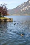 Att simma duckar på Hallstatt sjön Royaltyfri Fotografi