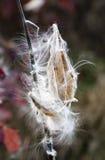Att släppa för Milkweed kärnar ur Fotografering för Bildbyråer