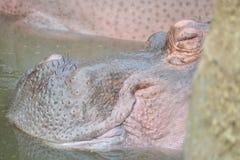 Att sova behandla som ett barn flodhästen i vattendammet arkivfoto