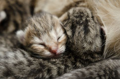 Att sova behandla som ett barn kattungen Arkivfoto