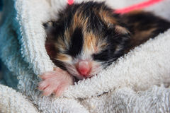 Att sova behandla som ett barn kattungen Fotografering för Bildbyråer