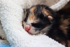 Att sova behandla som ett barn kattungen Royaltyfri Fotografi