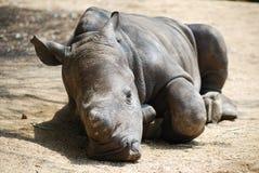 Att sova behandla som ett barn noshörning Arkivbilder