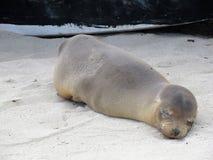 Att sova behandla som ett barn sjölejonet Arkivfoto