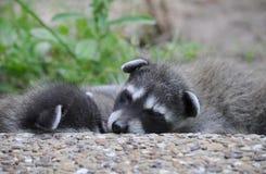 Att sova behandla som ett barn tvättbjörnen Royaltyfri Foto