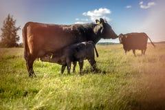 Att suga för den Yong svartangus kalven mjölkar på gräs i solig dag arkivfoton