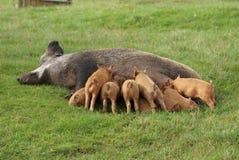 Att suga för spädgrisar mjölkar från suggan royaltyfri fotografi