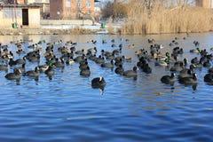 Att sväva duckar på floden i sammanträde för solig dag för vinter på kusten Royaltyfria Foton
