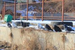 Att sväva duckar på floden i sammanträde för solig dag för vinter på kusten Arkivfoton