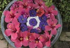 Att sväva hibiskusblommor på en rund bunke fyllde med vatten Royaltyfria Bilder