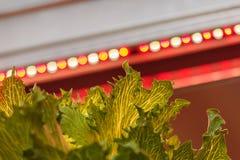 Att tända för ljusdiod som är van vid, växer grönsallat royaltyfri foto